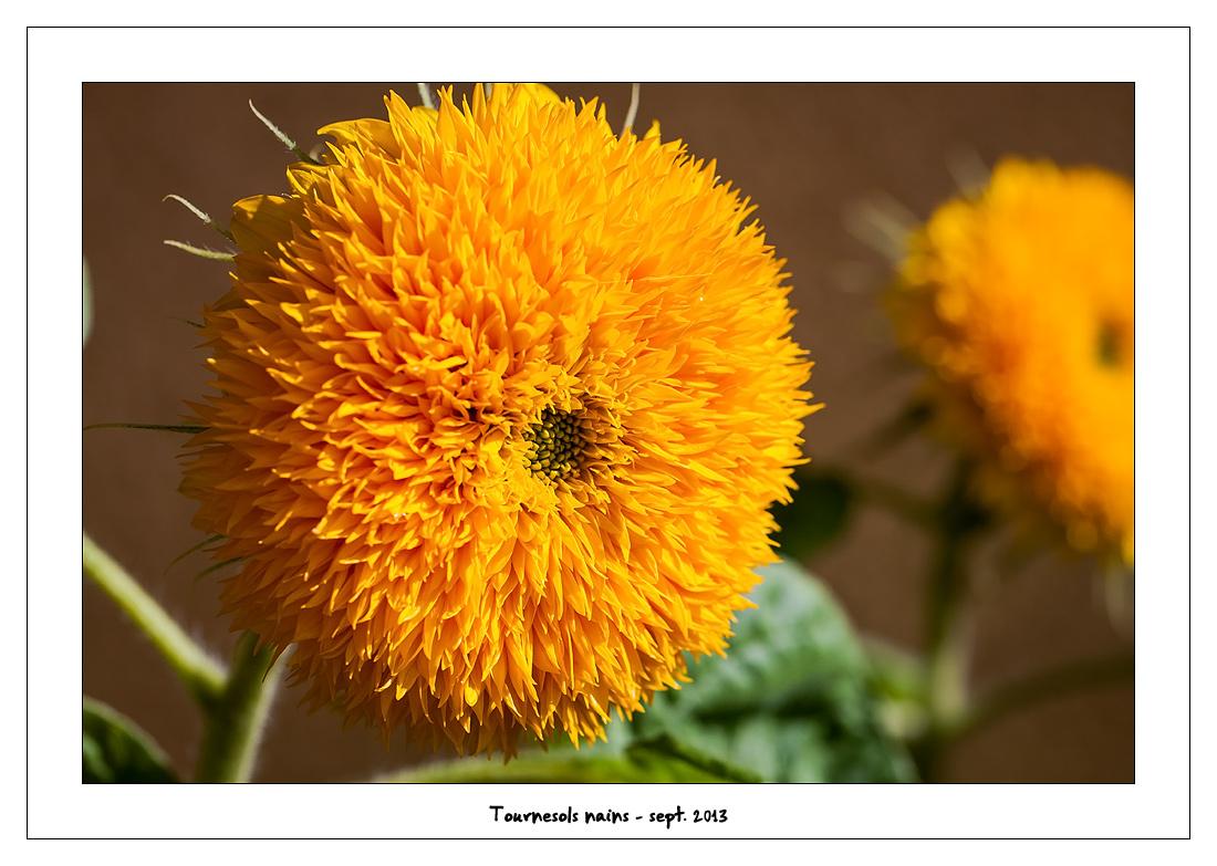 http://fredetsev.eu/imagespourblog/fleursterrasse/tournesols_nains_01.jpg