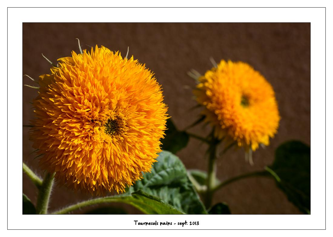http://fredetsev.eu/imagespourblog/fleursterrasse/tournesols_nains_02.jpg