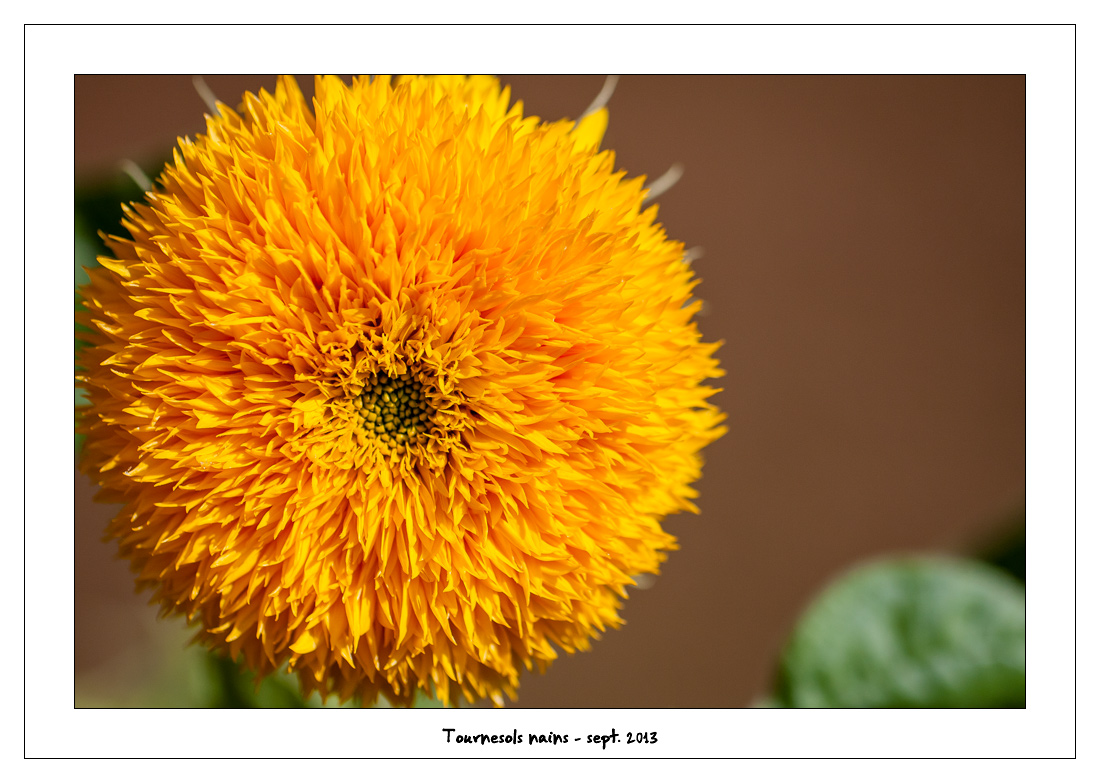 http://fredetsev.eu/imagespourblog/fleursterrasse/tournesols_nains_03.jpg