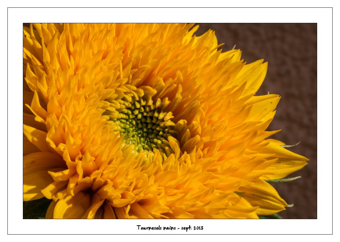 http://fredetsev.eu/imagespourblog/fleursterrasse/tournesols_nains_06.jpg