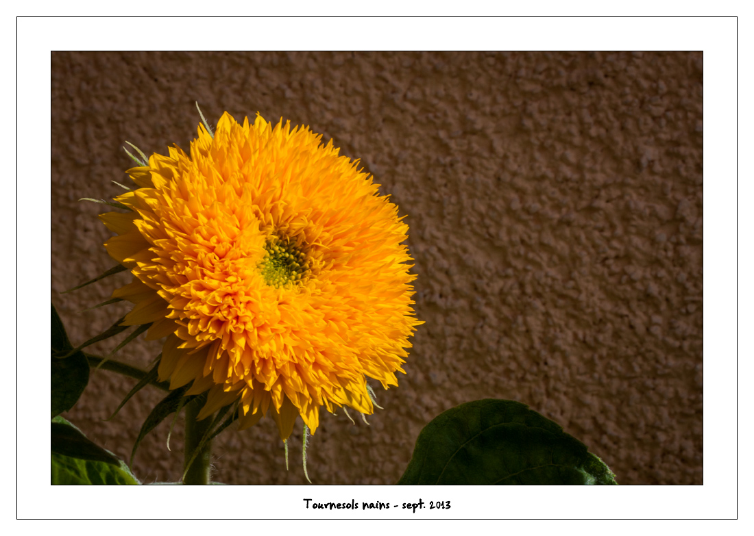 http://fredetsev.eu/imagespourblog/fleursterrasse/tournesols_nains_07.jpg