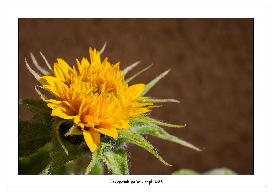 http://fredetsev.eu/imagespourblog/fleursterrasse/tournesols_nains_08.jpg