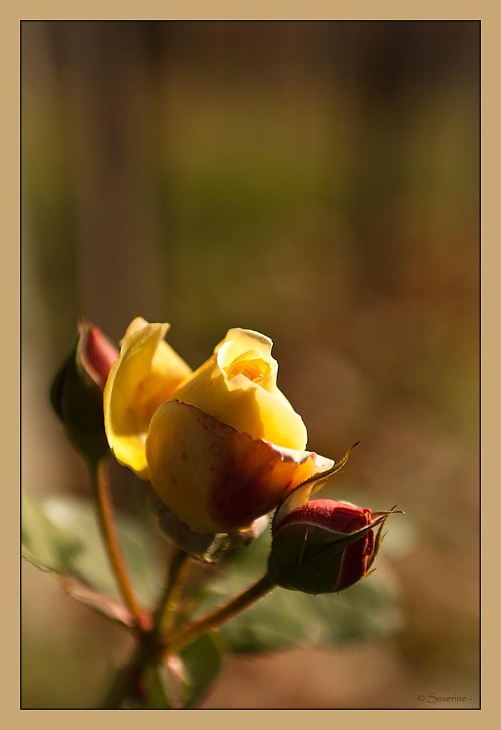 http://fredetsev.eu/imagespourblog/rose_jaune.jpg