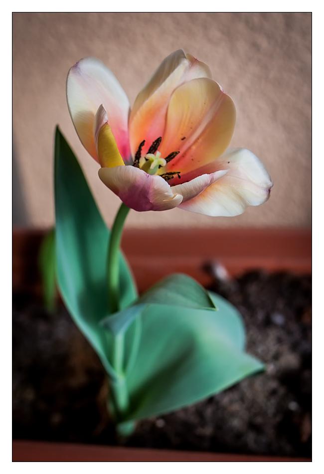http://fredetsev.eu/imagespourblog/tulipe_printemps_2013_01.jpg